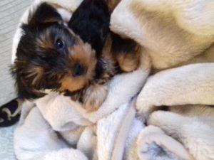 Coco: my pet yorkie puppy